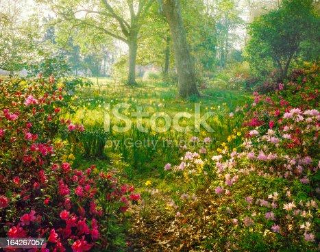 brillant hazy sunlight through azalea and daffodil garden wonderland