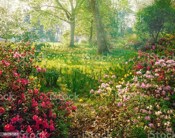 Bright Hazy Sunlight Through Azalea And Daffodil Garden Stock Photo - Download Image Now