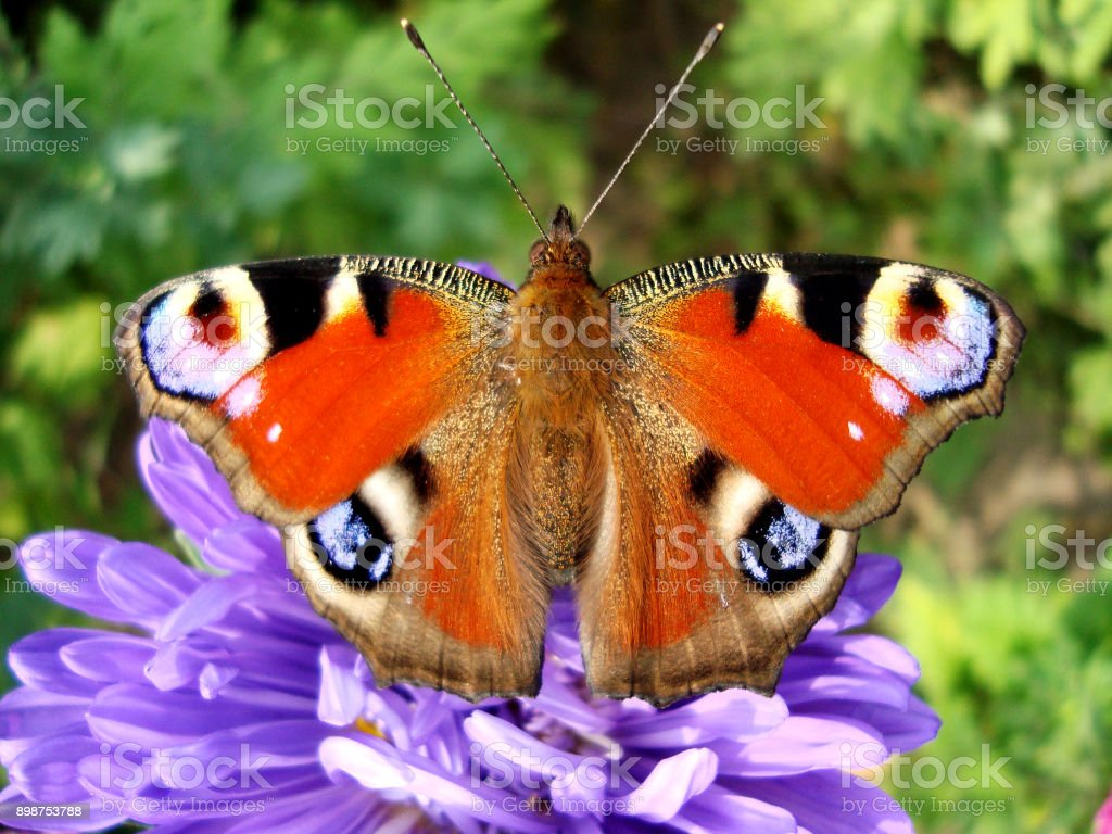Bright Inachis io sitting on blue flower. stock photo