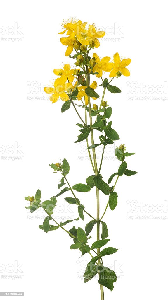 bright isolated on white yellow hypericum flower stock photo