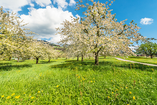 A bright joyful day in the spring in the garden. Fruit trees in full bloom. Magnificent atmosphere awakening nature.