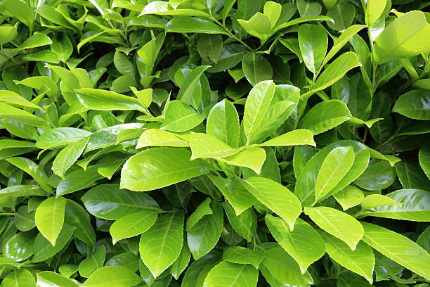 Bright laurel bush stock photo