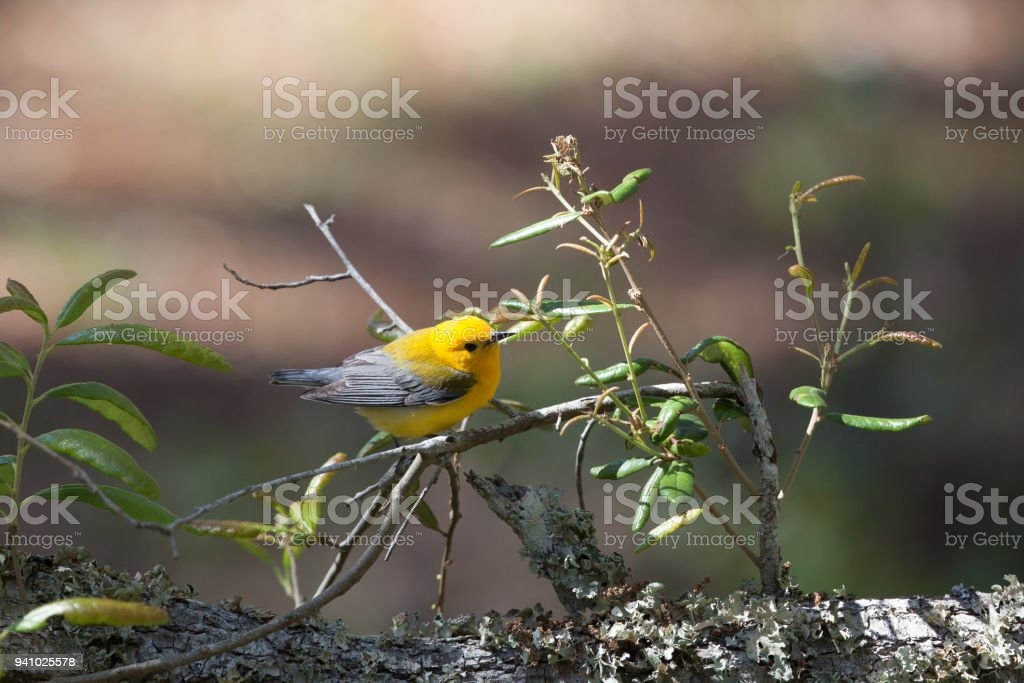 Bright lemon yellow Prothonotary Warbler stocks up on insects in a brief stop over on a Bottle Brush tree before continuing on its long migration Northward stock photo
