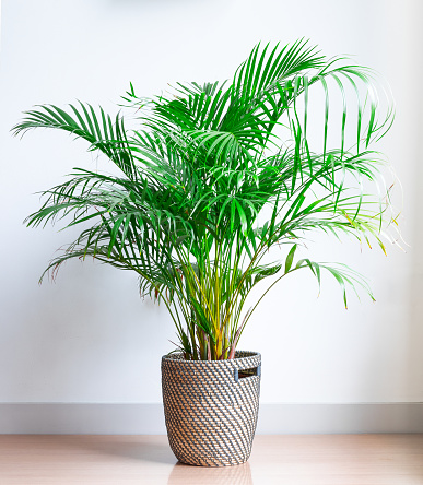 Bright Living Room With Houseplant On The Floor In A Wicker Basket Stock Photo - Download Image Now
