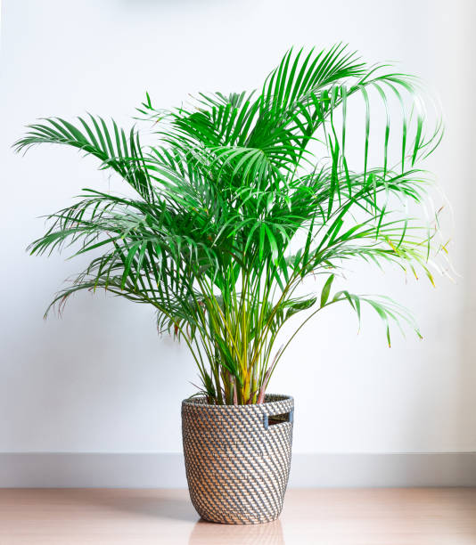 bright living room with houseplant on the floor in a wicker basket stock photo