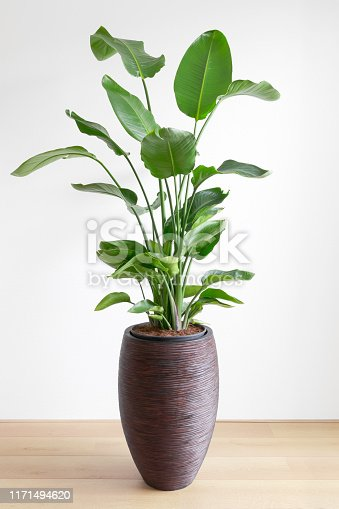 tropical houseplant giant white bird of paradise, Strelizia Nicolai, in a large brown pot in front of a white wall, copy space
