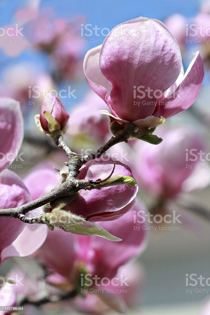 bright magnolias royalty-free stock photo