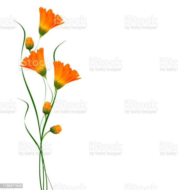 Bright marigold flowers picture id1159371543?b=1&k=6&m=1159371543&s=612x612&h=v4yoec7n8xdmlt7y7cnquct0 a4ljmv5 hduxme3mdw=