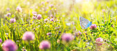 Summer landscape with  beautiful butterfly on the blooming flowers of clover