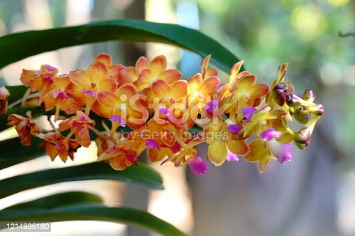 Beautiful orange and red orchid with Vanda in full bloom in farm