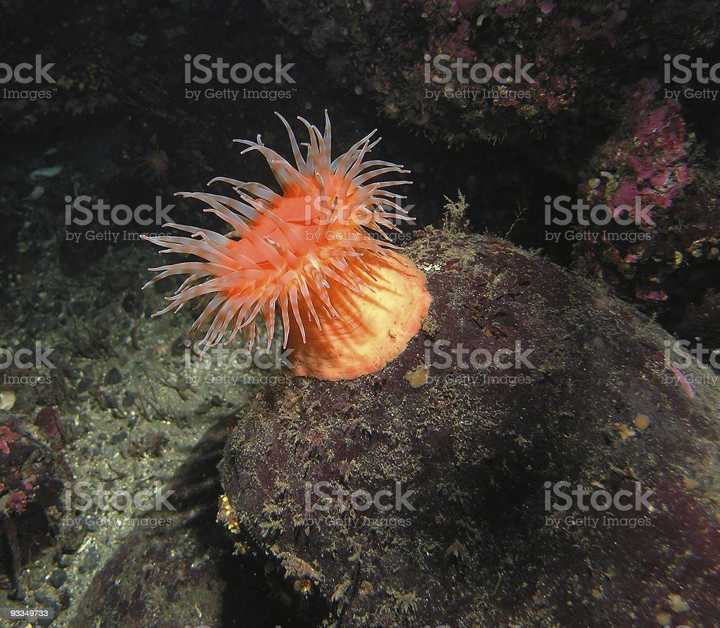 Bright orange anemone stomphia didemon on a submarine rock stock photo