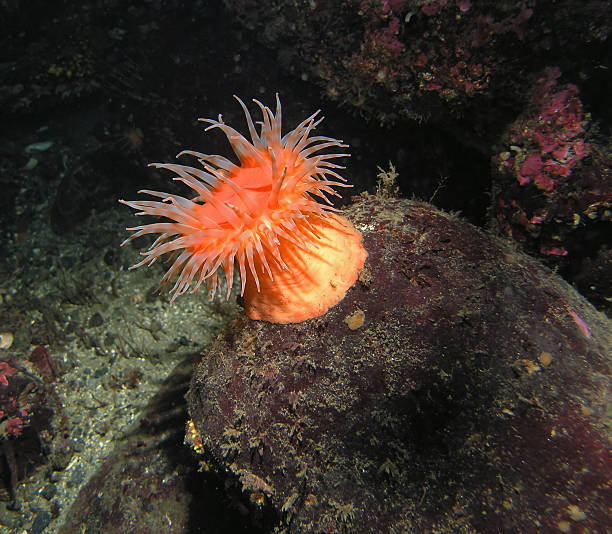 Bright orange anemone stomphia didemon on a submarine rock A beautiful sea anemone photographed in the cold waters of British Columbia, Canada.  It is not often that the water is clear enough for a clean shot like this. sea anemone stock pictures, royalty-free photos & images