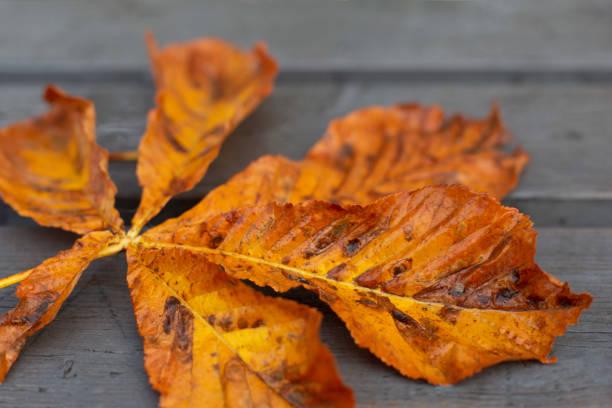 Bright orange autumn horse chestnut leaf on grey surface stock photo