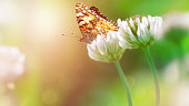 Bright orange butterfly on white clover flowers in sunlight. Spring summer image. Copy space.