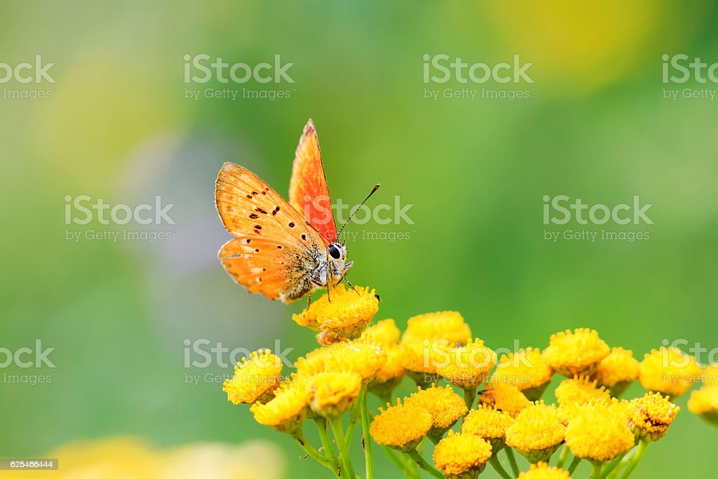 bright orange butterfly sitting on yellow flowers stock photo