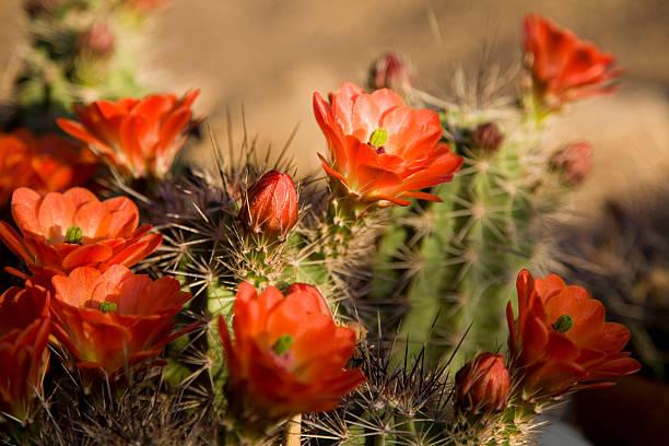 Bright Orange Cactus Flowers stock photo