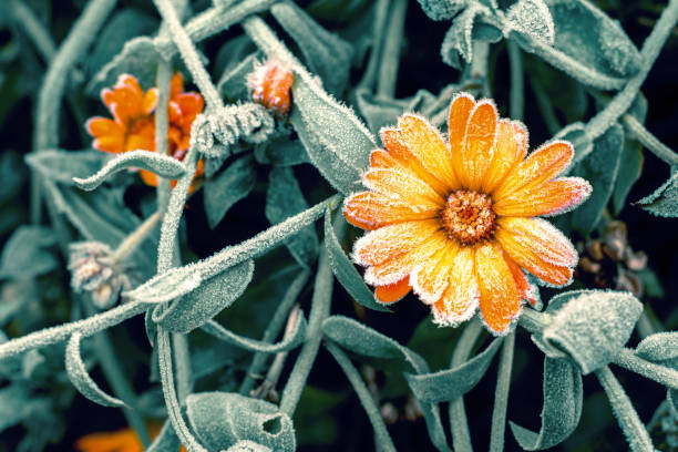 A bright orange calendula flower against a background of green leaves is covered with hoarfrost at the beginning of winter, close-up. Toning. stock photo