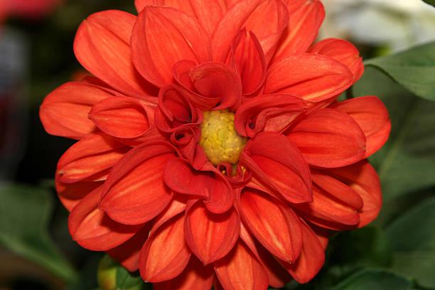 bright orange dahlia stock photo