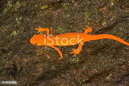 Bright orange Eastern newt, Notophthalmus viridescens, a salamander crawling along a moist rock at Lake Solitude on Mt. Sunapee in Newbury, New Hampshire.