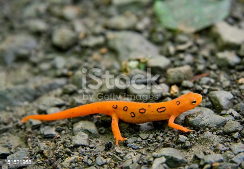Close-up of Red Spotted or Eastern Newt (Notophthalmus viridescens)