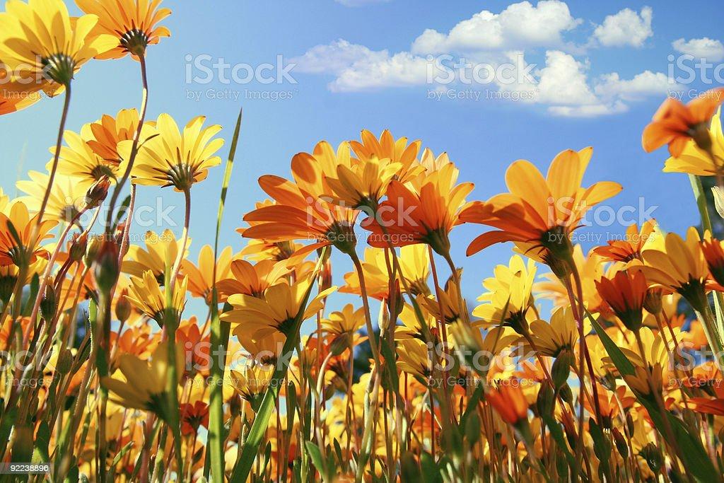 Bright orange flowers in a field stock photo