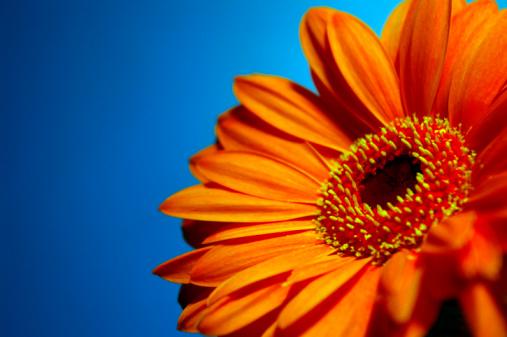 A bright, vibrant, orange Gerbera daisy on a blue background.