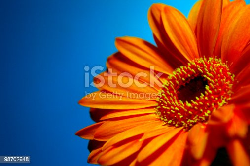 A bright, vibrant, orange Gerbera daisy on a blue background.