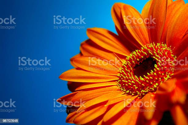 Bright orange gerbera against a blue background picture id98702648?b=1&k=6&m=98702648&s=612x612&h=dz37x5tgawjowinknfcdpjwx23kl23nj9oeqygpb1uu=
