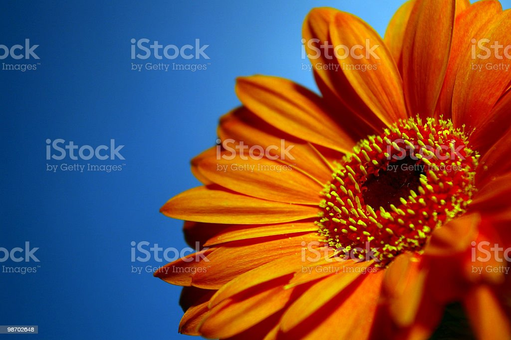 Bright orange gerbera against a blue background stock photo