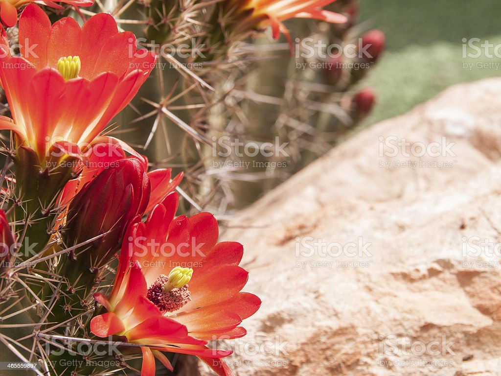 Bright Orange Hedgehog Blossoms stock photo