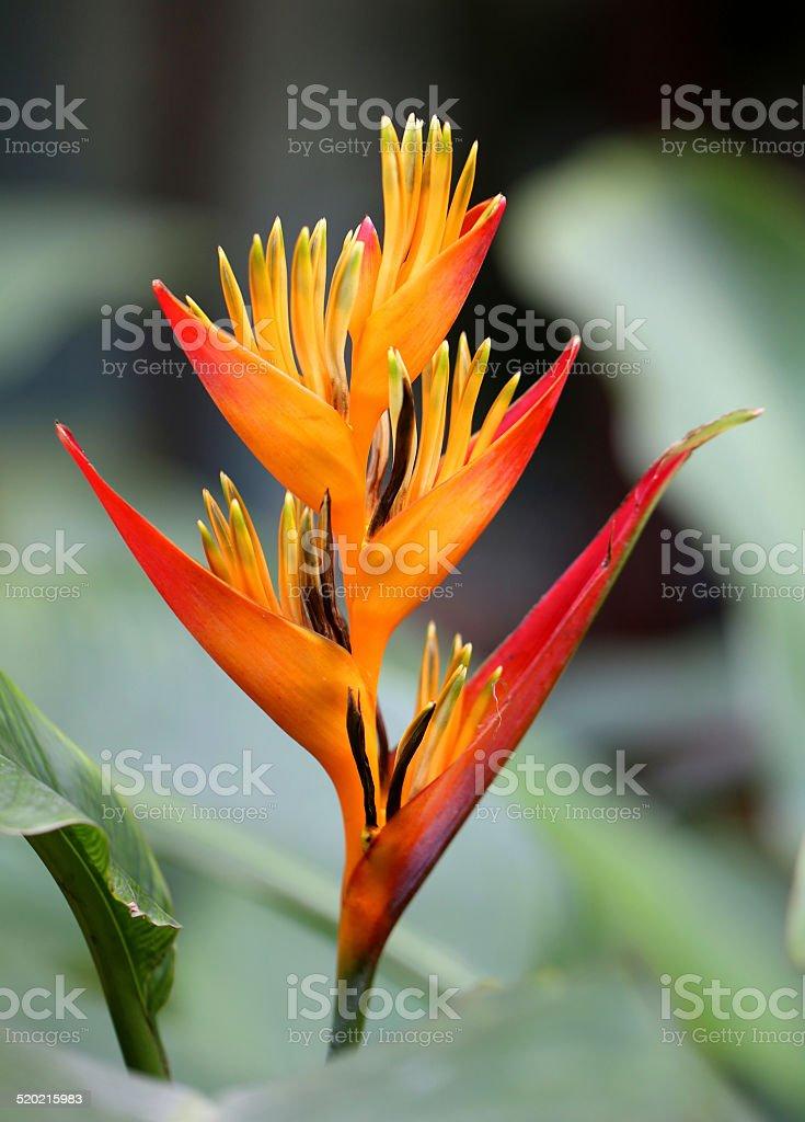 bright orange Heliconia stock photo