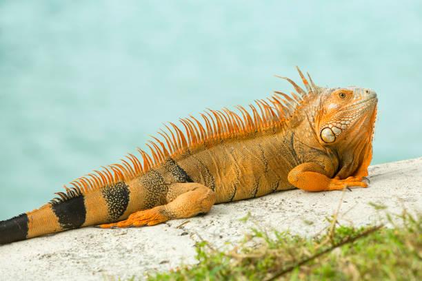 Leuchtend orange Leguan, Iguana Iguana, Sonnen Fels mit Wasser des Atlantischen Ozeans, Florida. – Foto