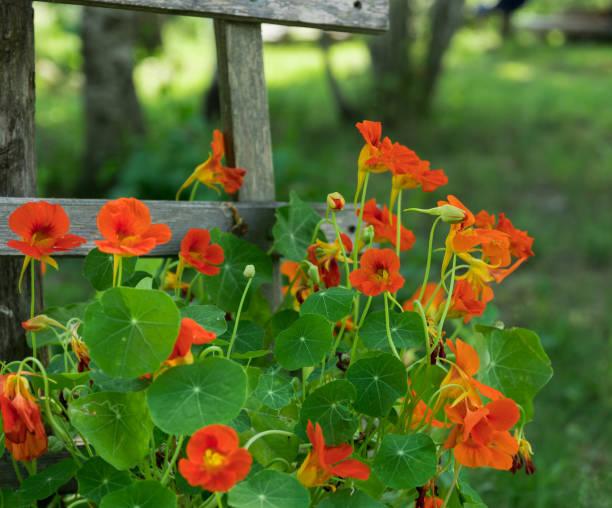bright orange nasturtiums climbing wooden rail fence - nasturtium stock photos and pictures