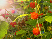 Bright orange physalis grows on a branch in the garden. Tasty and healthy berry. Therapeutic berry. Autumn harvest.\