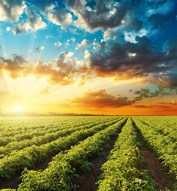 bright orange sunset in dramatic sky over green field - tomato field stock photos and pictures