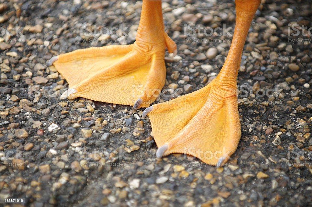 Bright Orange Webbed Bird Feet Textured Stone Background stock photo