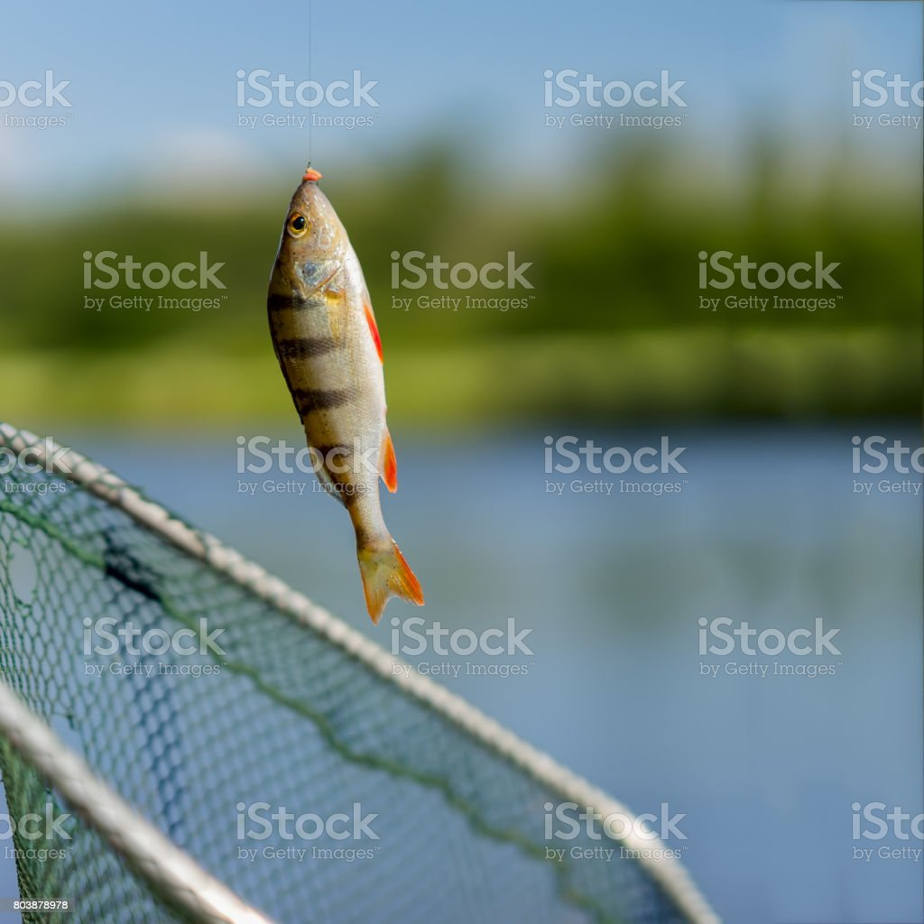 Bright perch close-up on fish-hook on lip with maggot, hot summer day, natural background, square. Concept luck, success, active rest, hobbies, countryside relaks stock photo