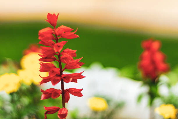 Bright petals of a red meadow flower in a flower field. Lobelia cardinalis fulgens in a public park stock photo