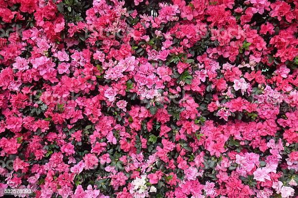 Bright picture of background full pink flowers picture id532578093?b=1&k=6&m=532578093&s=612x612&h=w9yzrcoizep9sgwkdbytddcbp8slzcjaxvr el7mfc0=