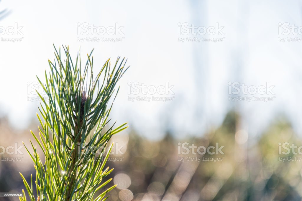 Bright pine tree twig stock photo