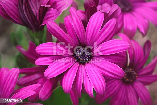Close up African Daisy (Osteospermum) flowers with intense pink flowers with purple and yellow centers.