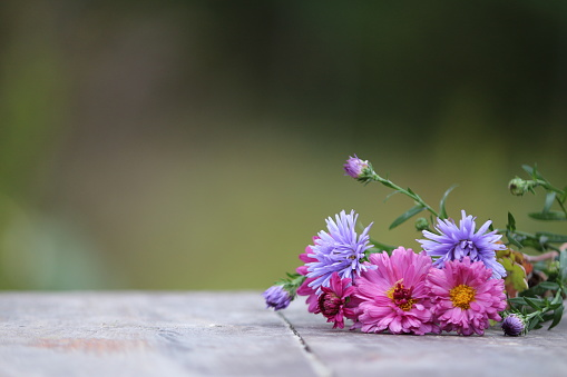 Symphyotrichum novi-belgii, Confused Michaelmas-daisy, New York aster.  Bright blooms of flowers lie on a wooden rustic surface outdoors. Copyspace.