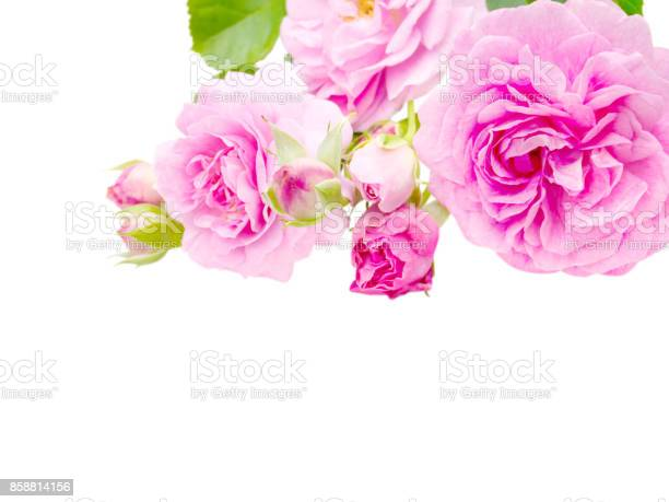 Bright pink antique roses and buds in the corner isolated on white picture id858814156?b=1&k=6&m=858814156&s=612x612&h=yhcd7pgswmnu6y8jr1jz5jisc3mm7omzr ja867usym=