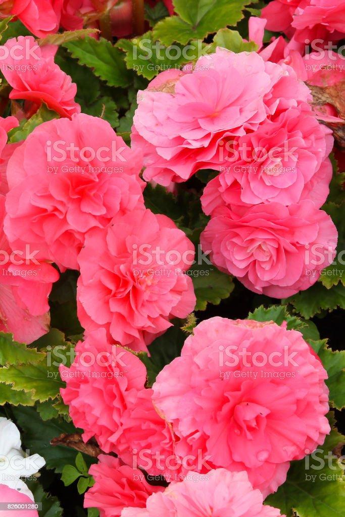 Helder roze begonias foto