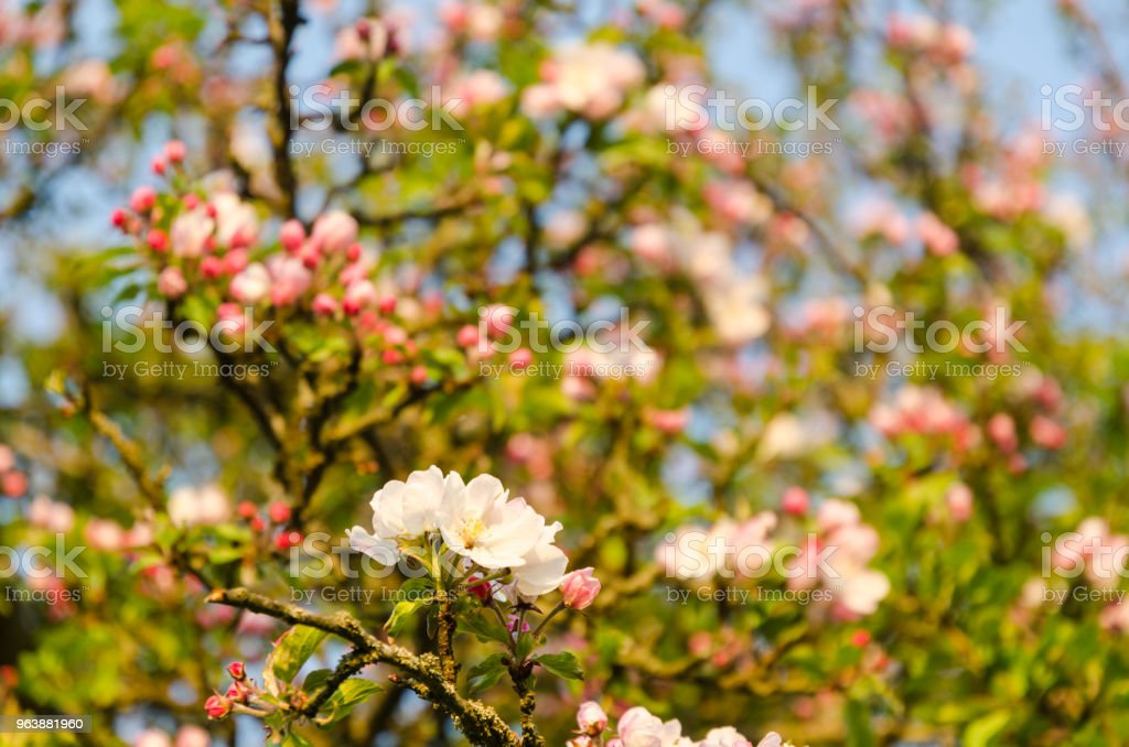 Bright pink blossom apple tree - Royalty-free Apple - Fruit Stock Photo