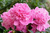 Bright pink blossoming peony flowers on green leaves background in spring and summer.