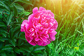 Bright pink blossoming peony flowers on green leaves background in spring.