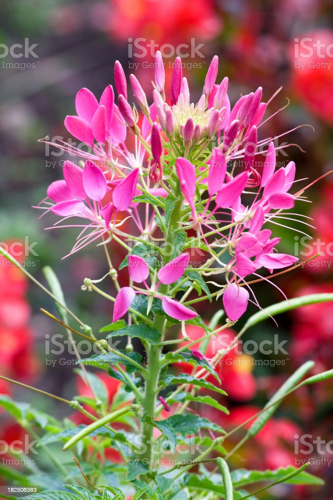 Bright Pink Cleome stock photo