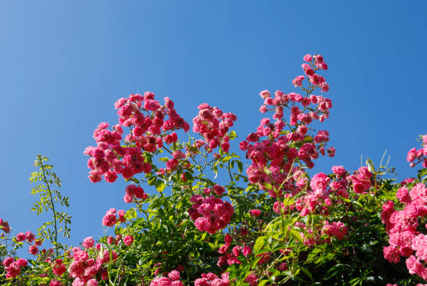 Bright pink climbing rose against bright blue sky stock photo