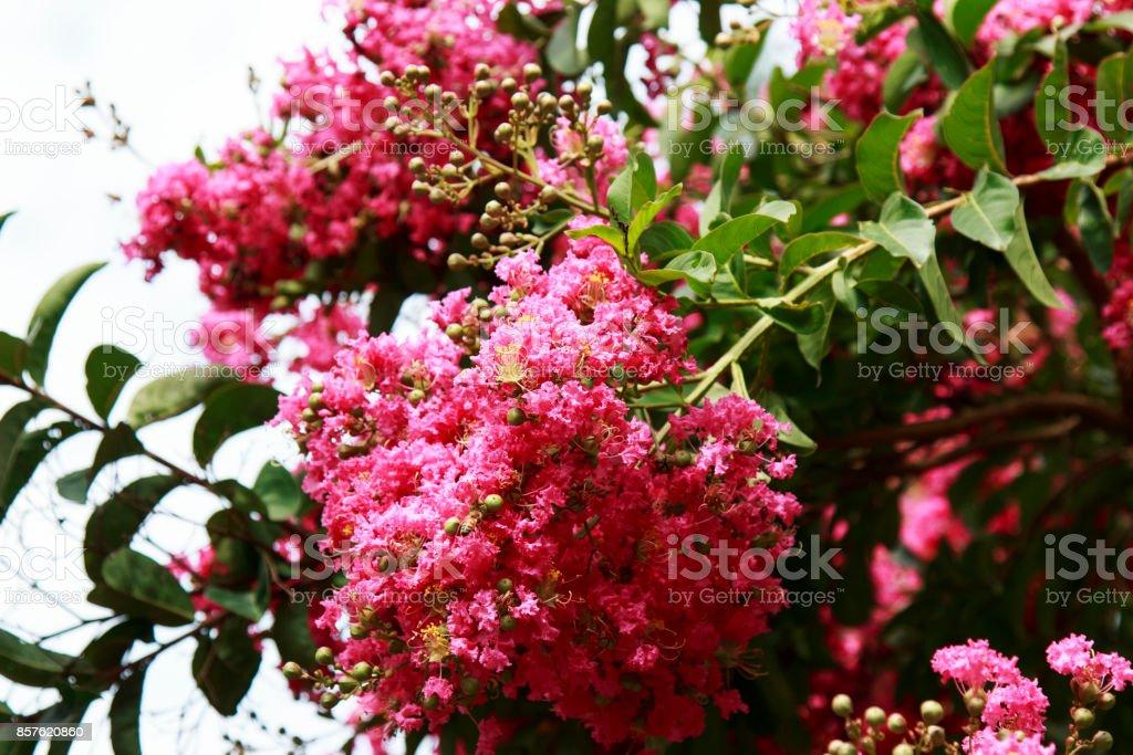 Bright pink crepe myrtle flowering tree in bloom stock photo more bright pink crepe myrtle flowering tree in bloom royalty free stock photo mightylinksfo